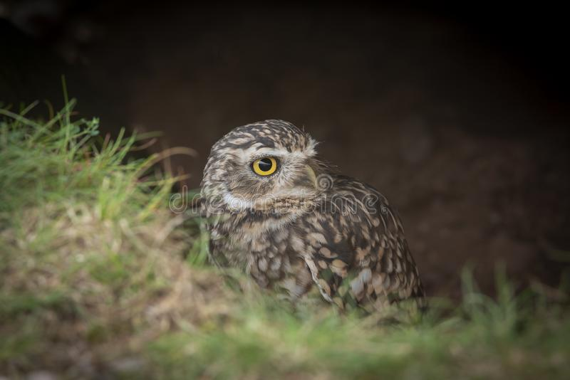 Burrowing owl emerging from ground royalty free stock images