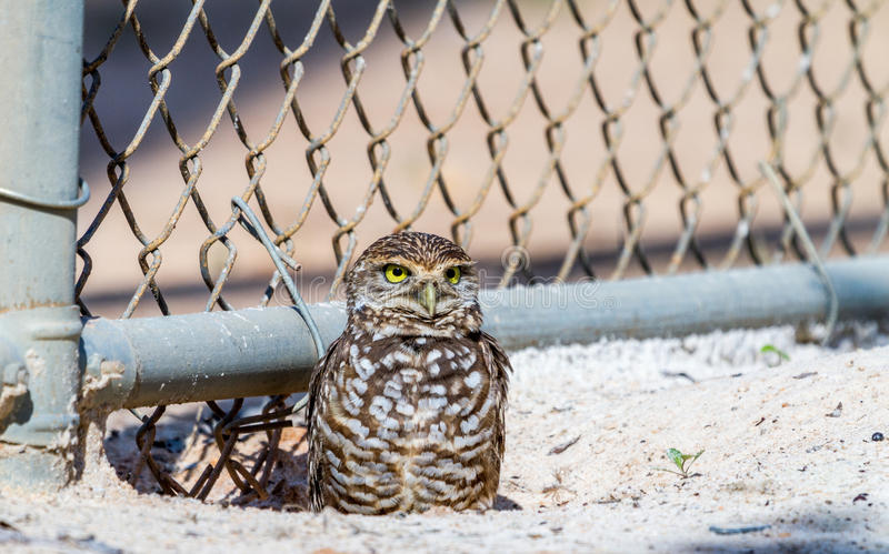 Burrowing Owl By Fence Stock Photo