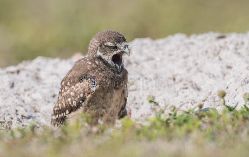 Burrowing Owl. A burrowing owl in Florida stock image