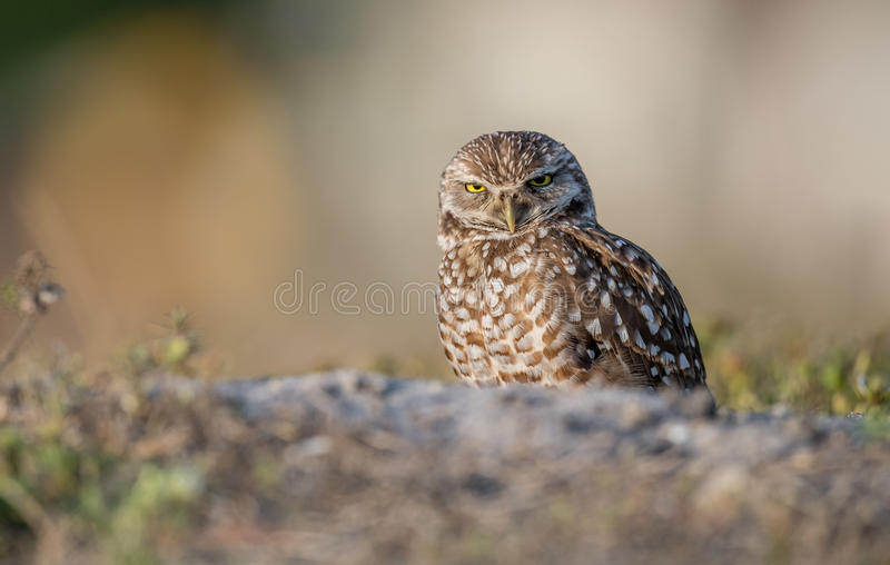 Burrowing Owl - Florida. A burrowing owl stands guard over his den in Cape Coral, Florida royalty free stock images