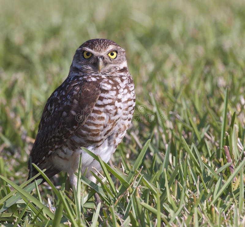Burrowing Owl in grass. In Florida royalty free stock photo