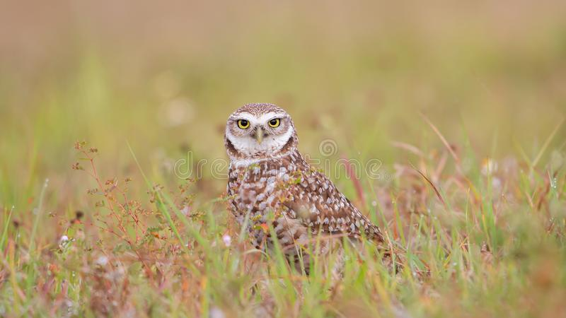 Burrowing owl in a green field looking at camera, Florida. Owls, bird, birds, prey, cute, hunter, closeup, brown, small, wild, animal, america, angry, animals stock images