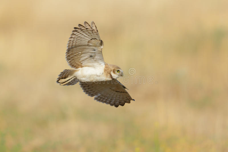 Burrowing Owl. An image of a burrowing owl in flight stock images