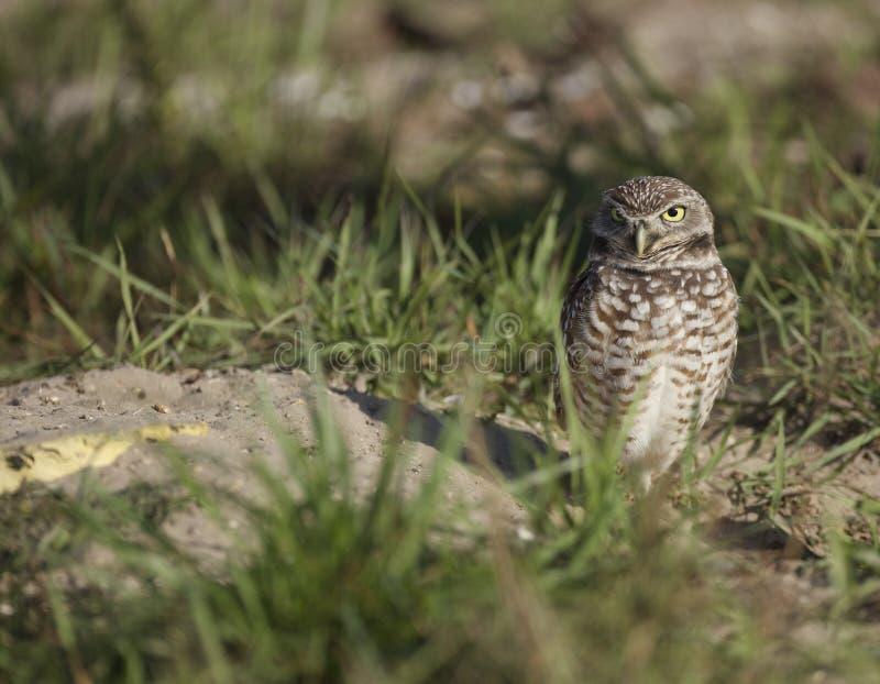 Burrowing Owl Nisting bei Punta Gorda, FL stockbilder
