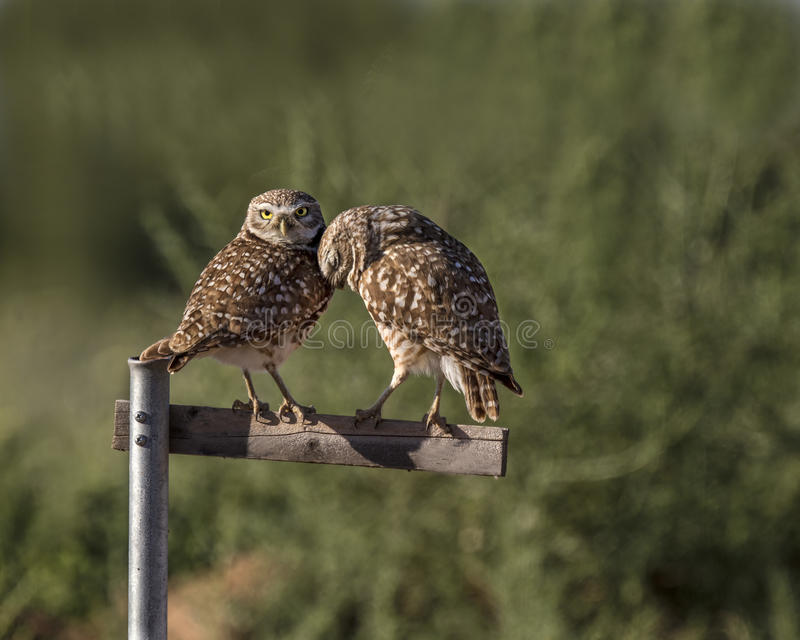 Burrowing Owl pair on a perch. Burrowing owl pair nuzzling on their perch royalty free stock image
