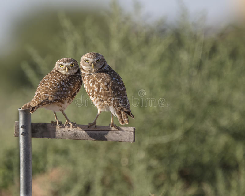 Burrowing Owl pair on a perch. Burrowing owl pair nuzzling on their perch royalty free stock photography
