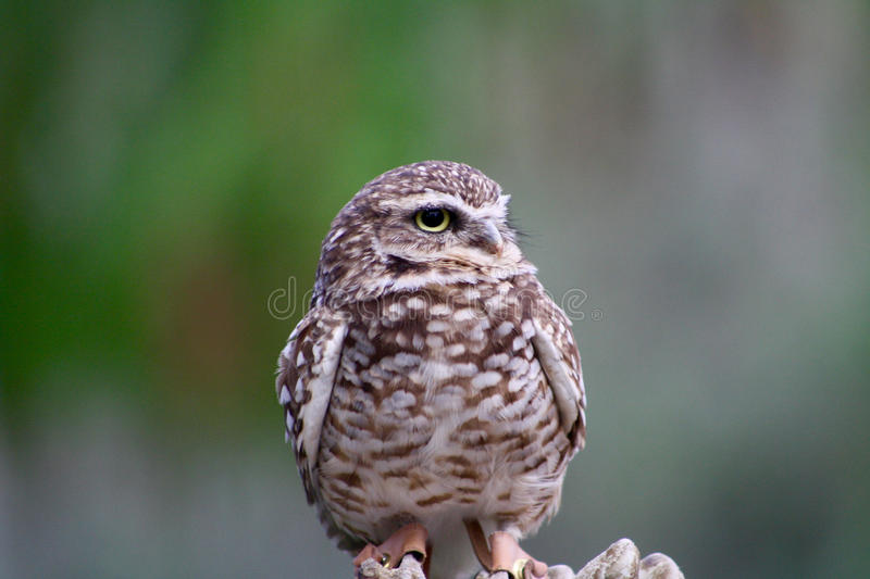 Burrowing Owl Perched a disposizione fotografie stock