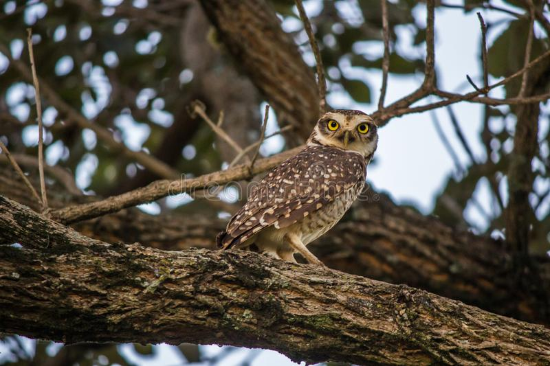 Burrowing owl. Popularly known as the burrowing owl, Athene cunicularia is a small bird of prey, which inhabits from the territory of Canada North America to stock photo