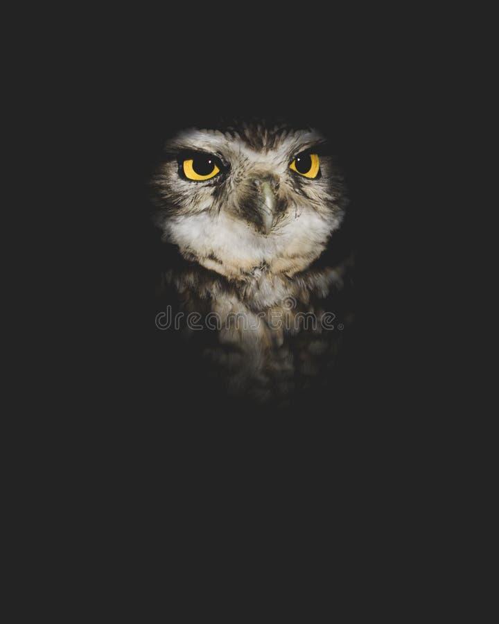 Burrowing Owl Portrait Shrouded na escuridão com espaço da cópia fotografia de stock
