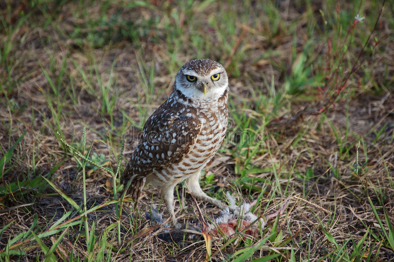 Burrowing owl with prey. A burrowing owl protects the remainder of it's prey royalty free stock photos