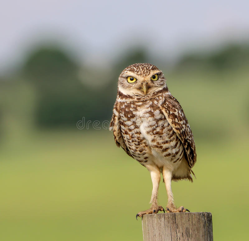 Burrowing Owl. Sitting on a fence in Central Florida stock photography
