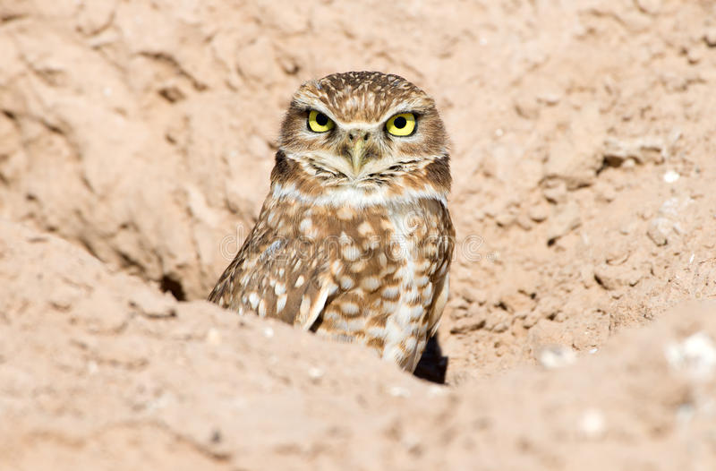 Burrowing Owl. Sitting in the nest hole royalty free stock photography