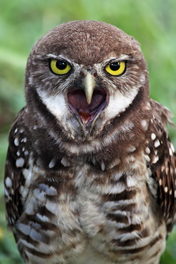 A yawning Burrowing Owl in south Florida royalty free stock images