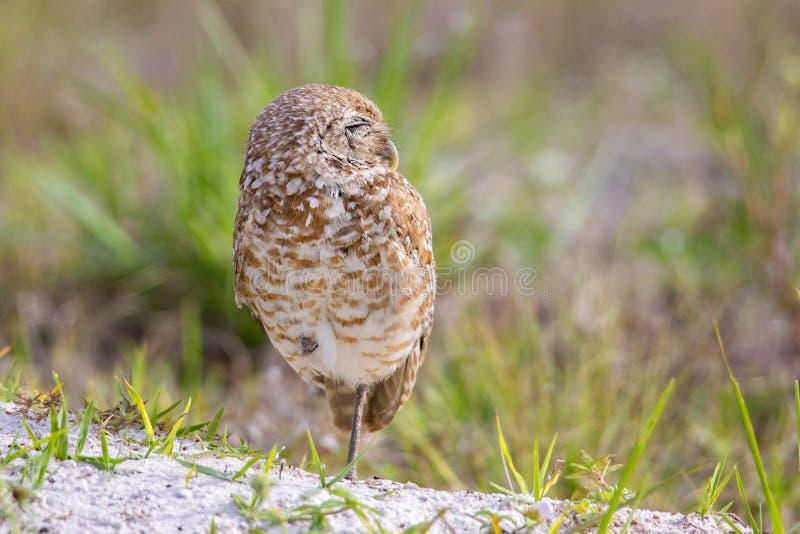 Burrowing Owl Sunning. A Burrowing Owl sunning itself stock photo