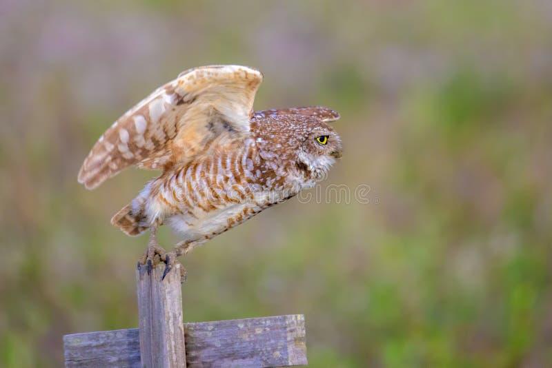 Burrowing Owl Taking Flight. A Burrowing Owl takes flight stock image
