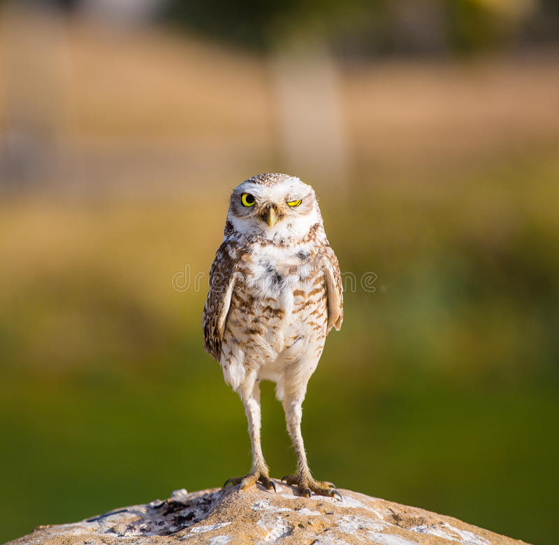 Burrowing Owl Winking. A Burrowing Owl winking for the camera stock images