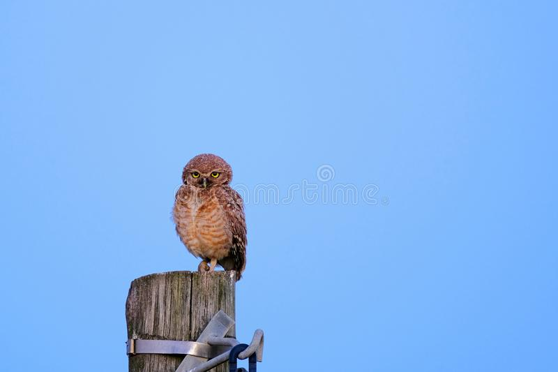 Burrowing Owl with yellow eyes, Athene Cunicularia, standing on a pole, Uruguay, South America stock photos