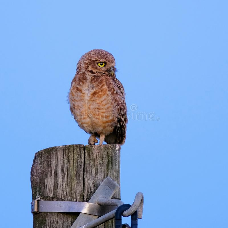 Burrowing Owl with yellow eyes, Athene Cunicularia, standing on a pole, Uruguay, South America stock image