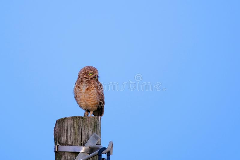 Burrowing Owl with yellow eyes, Athene Cunicularia, standing on a pole, Uruguay, South America royalty free stock photos