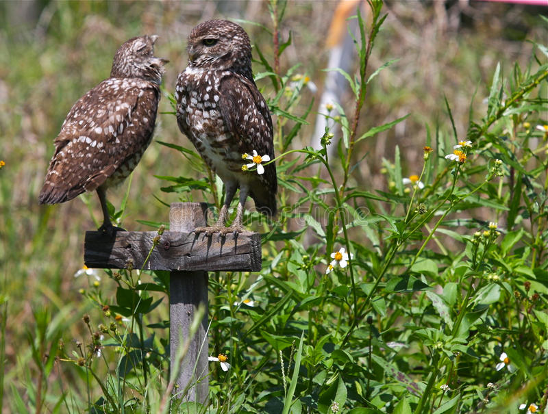 Burrowing Owls. A pair of burrowing owls from Cape Coral, Florida. Female Owl telling the make owl what she thinks stock photography