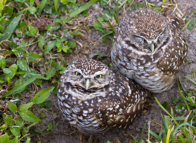 Burrowing Owls. Two young burrowing owls on the ground royalty free stock photo