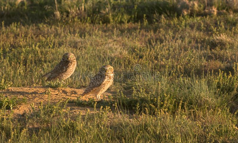 Burrowing Owls  Athene cunicularia. In Late Afternoon Sun stock image