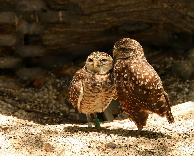Burrowing owls in love stock photo