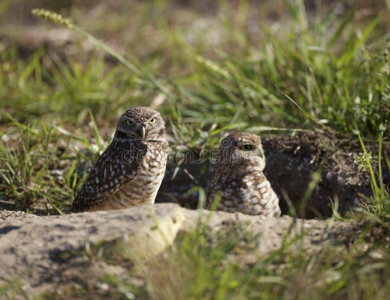 Burrowing Owls nesting near Punta Gorda, FL stock photo