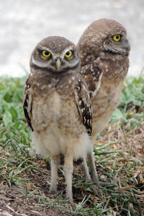 Burrowing Owls royalty free stock photography
