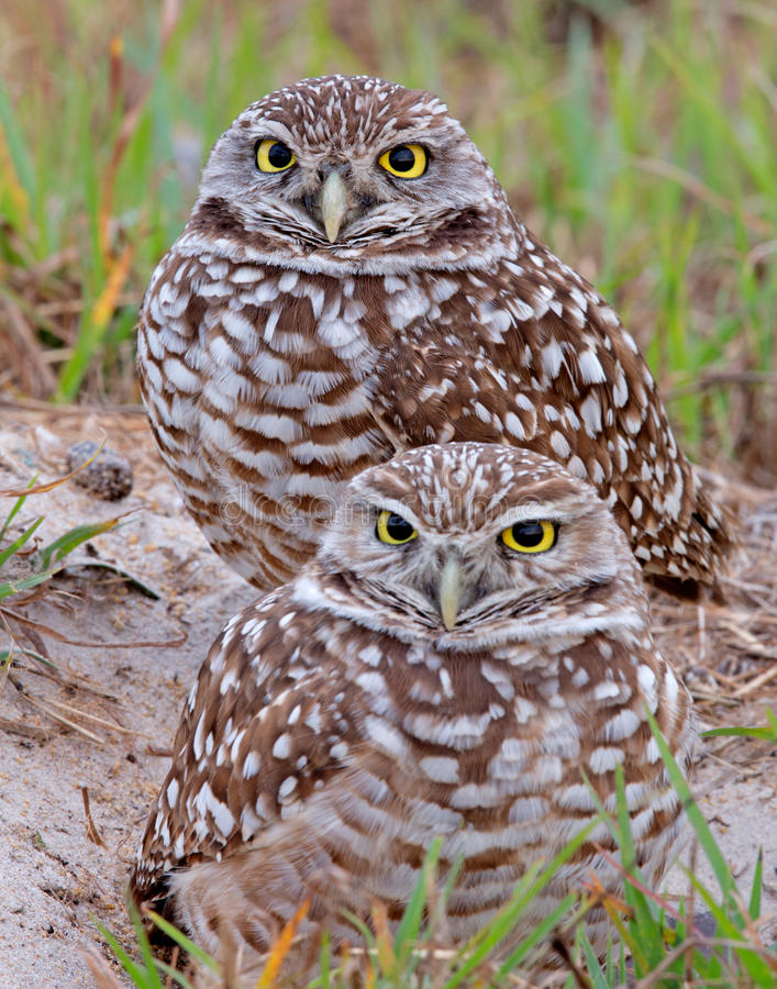 Burrowing Owls. Two burrowing owls in Cape Coral, Fl stock photography