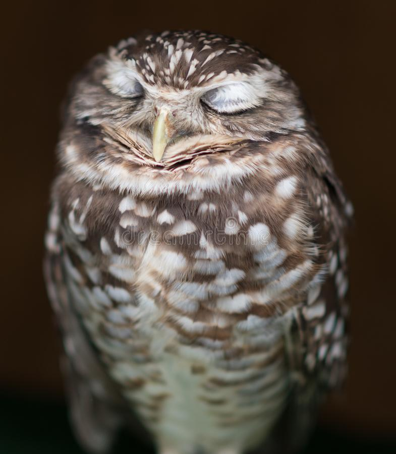 Burrowing Owl Dreaming Of Food. Burrowing Owl with both eyes closed in dreamlike state close up stock photo