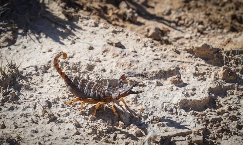 Burrowing scorpione in Namibia fotografia stock