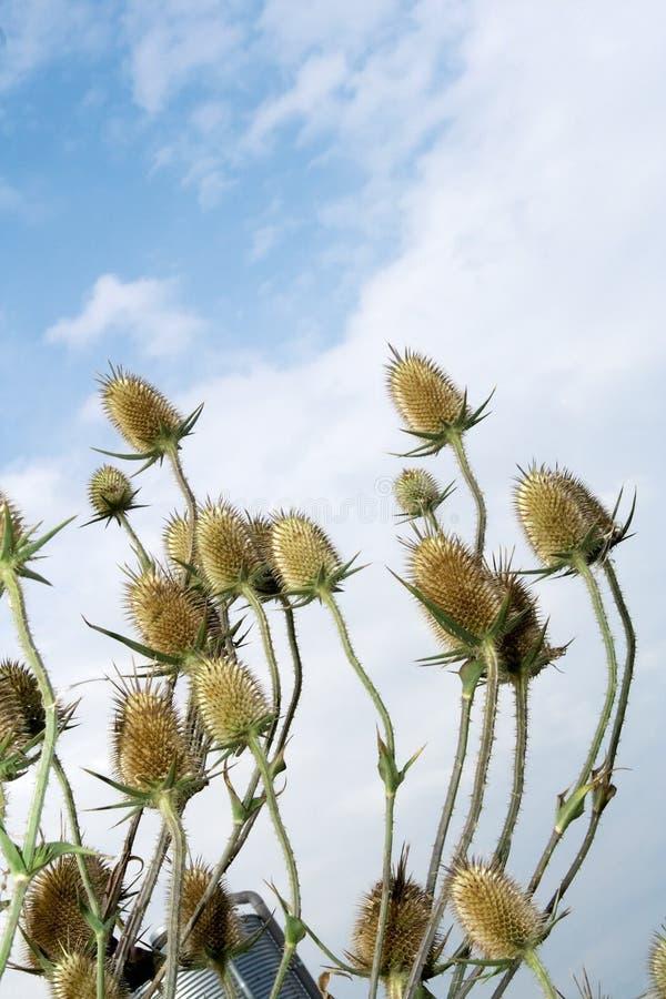 Burs. Plant oposite blue sky stock photos