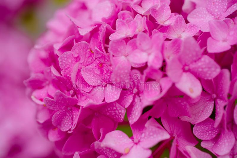 Bursting with blooms. Showy flowers in summer. Hydrangea blossom on sunny day. Flowering hortensia plant. Blossoming. Flowers in summer garden. Pink hydrangea royalty free stock photography