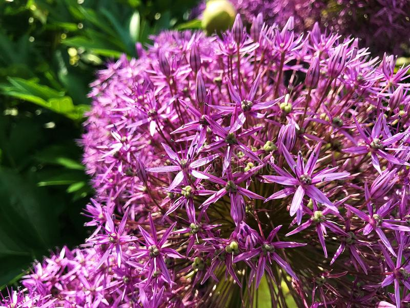 Bursting Purple Flowers Up Close. Close up of tiny spiky flower petal blooms in lavender stock image