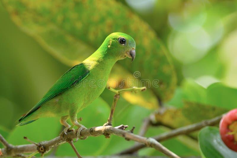 burung serindit στοκ φωτογραφίες με δικαίωμα ελεύθερης χρήσης