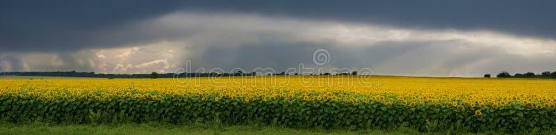 Burza nad polem słoneczniki. zdjęcia royalty free