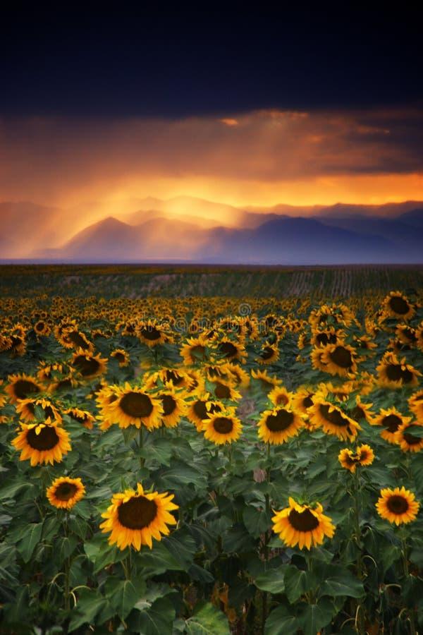 Burzowi słoneczniki zdjęcie royalty free