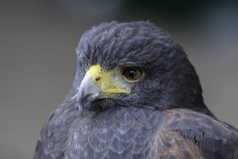 Busardo azul chileno Eagle imagens de stock