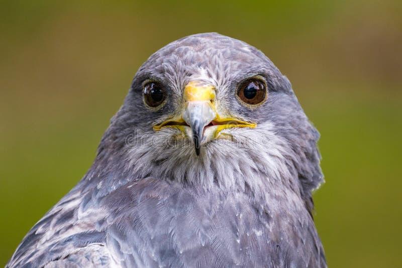 Busardo Chested preto bonito Eagle que olha direto imagem de stock
