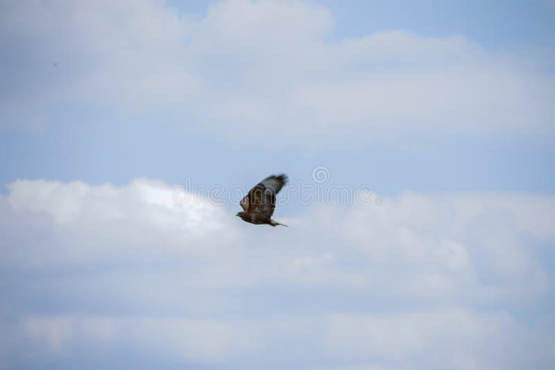 Busardo que voa ao redor como um pássaro de rapina imagens de stock