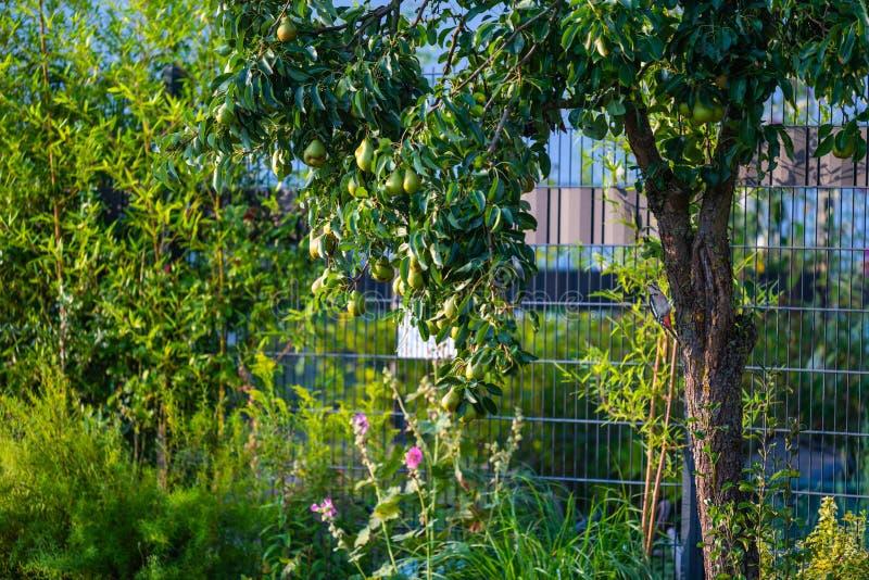 Buscas do pica-pau para o alimento em uma árvore de pera imagens de stock