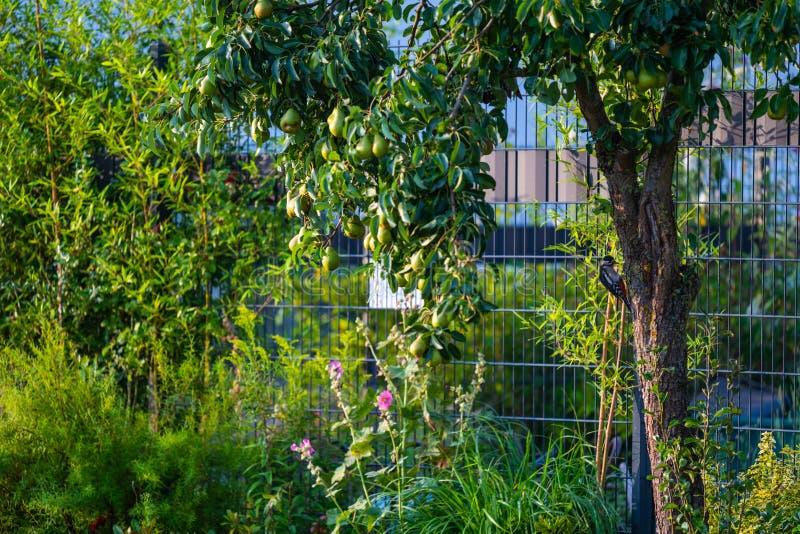 Buscas do pica-pau para o alimento em uma árvore de pera foto de stock royalty free