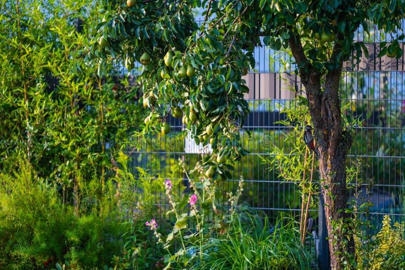 Buscas do pica-pau para o alimento em uma árvore de pera imagem de stock royalty free