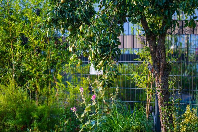 Buscas do pica-pau para o alimento em uma árvore de pera imagem de stock