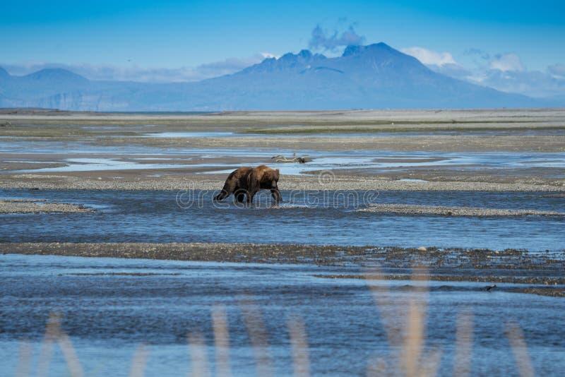 Buscas litorais do Alasca do urso do urso de Brown para peixes em um rio no parque nacional de Katmai, sentando-se em um sandbar foto de stock