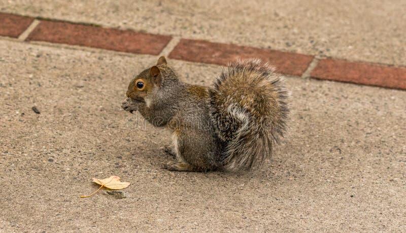 Buschiges angebundenes Eichhörnchen, das Nüsse isst lizenzfreies stockfoto