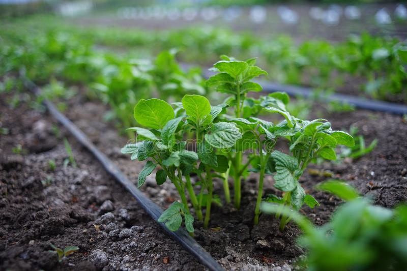Buschs?mlinge von Kartoffeln im Garten Bew?sserungsschlauch zwischen Reihen des Gem?ses lizenzfreie stockbilder