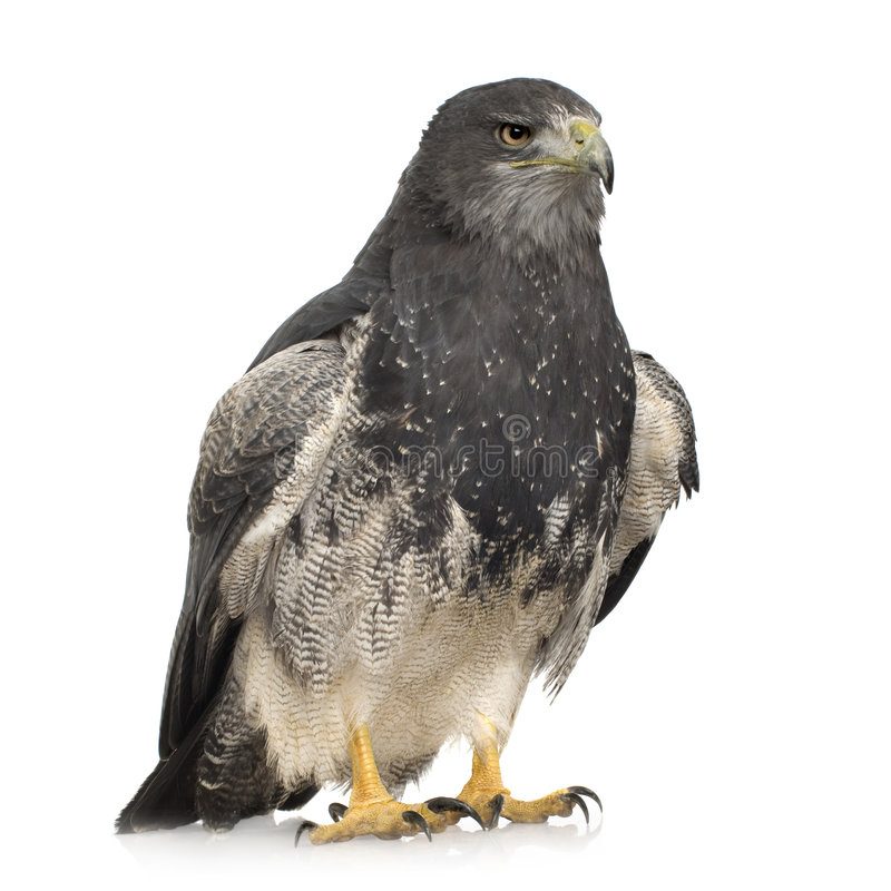 Buse-aigle Noir-chested () - Geranoaetus melan images stock