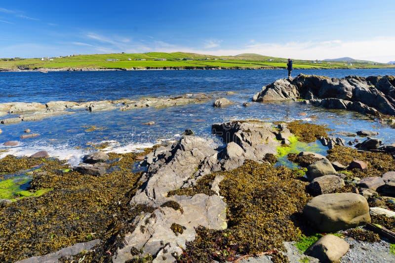 Buse och stenig kust l?ngs den ber?mda cirkeln av den Kerry rutten Iveragh halvö, ståndsmässiga Kerry, Irland royaltyfri bild